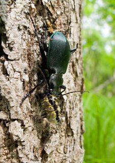 Free Beetle Carabus (Calosoma Sycophanta) 22 Royalty Free Stock Photos - 5587888