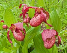 Free Flowers Of Lady S Slipper 2 Royalty Free Stock Photo - 5587955