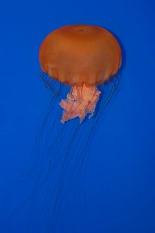 Free Jelly Fish Royalty Free Stock Image - 5588076