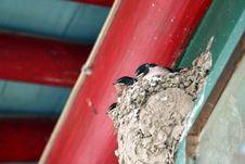 Free Swallow Royalty Free Stock Photos - 5588328