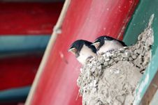 Free Swallow Royalty Free Stock Image - 5588366
