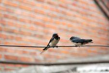 Free Swallow Stock Image - 5588381