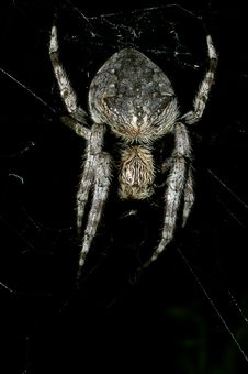 Free Garden Orb Weaver Spider Royalty Free Stock Photography - 5588617