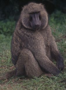 Free Baboon Stock Photos - 5588753