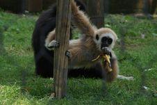 Free Gibbon Royalty Free Stock Photos - 5589238