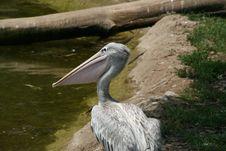 Free Pelican Stock Photos - 5589363