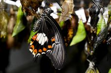 Free Just Born Butterfly Royalty Free Stock Image - 5589956