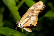 Free Big Butterfly Royalty Free Stock Photos - 5589998
