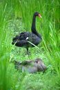 Free Black Swan Stock Images - 5591974