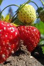 Free Fresh Strawberries Royalty Free Stock Image - 5594296