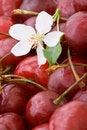 Free Closeup Sweet Cherries Background Stock Photos - 5596513
