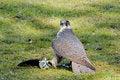 Free Saker Falcon Royalty Free Stock Photos - 5596968