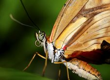 Free Big Butterfly Royalty Free Stock Photos - 5590078