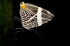 Free Butterfly Royalty Free Stock Photography - 5590107