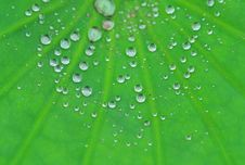 Free Drip In Lotus Leaf Royalty Free Stock Photos - 5590678