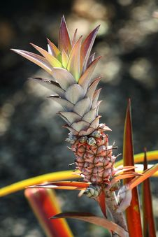 Pineapple Plant Royalty Free Stock Photos