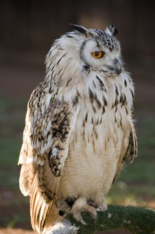 Perched Vermiculated Eagle Owl Royalty Free Stock Image