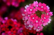 Free Tiny Red Flowers Stock Image - 5590771