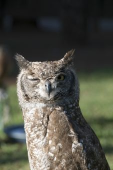 Winking Vermiculated Eagle Owl Royalty Free Stock Image