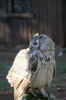 Perched Vermiculated Eagle Owl Royalty Free Stock Photos