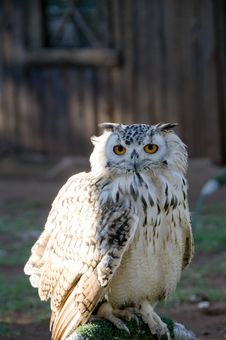 Perched Vermiculated Eagle Owl Royalty Free Stock Images