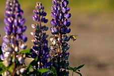 Free Bee At Lupin Royalty Free Stock Photography - 5591597