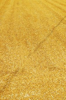 Free Wheat Royalty Free Stock Photography - 5591647
