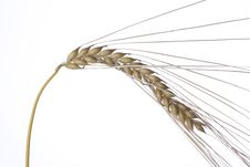 Free Wheat Royalty Free Stock Images - 5591769