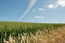 Corn In A Field Royalty Free Stock Photography