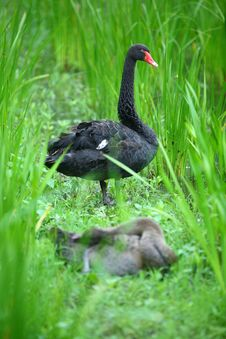 Free Black Swan Stock Images - 5591974