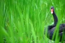 Free Black Swan Stock Photography - 5591992