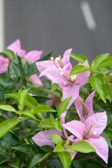 Free Pink Flower Stock Image - 5592081