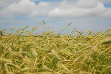 Free Field Of Wheat Royalty Free Stock Photography - 5592157