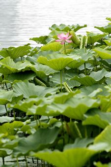Free Lotus In The Pond. Royalty Free Stock Images - 5592809