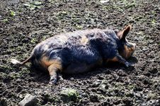 Free As Happy As A Pig In Muck Stock Photos - 5592993