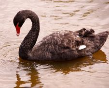 Free Black Swan Royalty Free Stock Images - 5593379