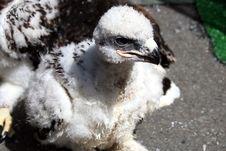 Free Baby Hawk Stock Image - 5593671