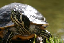 Free Turtle Eating Royalty Free Stock Image - 5594276