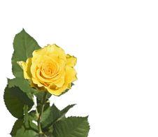 Free Yellow  Rose Stock Photo - 5594540