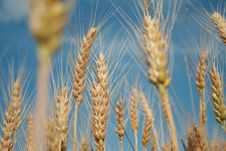 Free Wheat Royalty Free Stock Images - 5595169