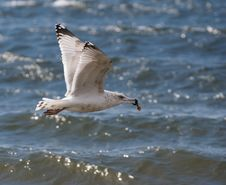Free Gull Flying Over Ocean Royalty Free Stock Photography - 5595297