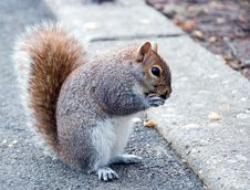 Free Squirrel At The Side Of A Road Royalty Free Stock Image - 5595306