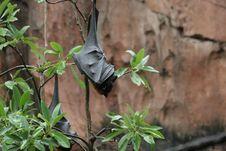 Free Fruit Bat Royalty Free Stock Photos - 5595308