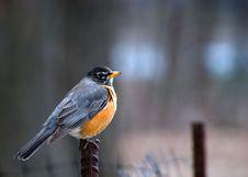 Free Robin Saw A Photographer Stock Image - 5595341