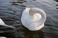 Swans In Regent S Park - 3 Stock Photos