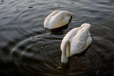 Swans In Regent S Park - 1 Stock Photos