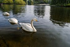 Swans In Regent S Park - 2 Royalty Free Stock Photography