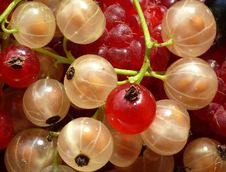 Free White And Red Currant Royalty Free Stock Images - 5595549
