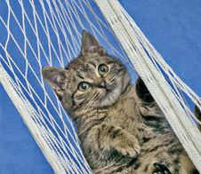 Free Cat In Hammock Royalty Free Stock Images - 5595579