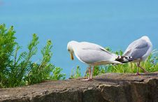 Free Herring Gulls On An Old Stone Wall Stock Images - 5595884
